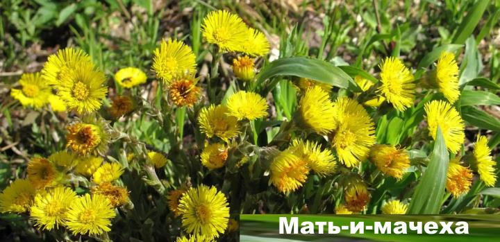 Луговой цветок - Мать и мачеха