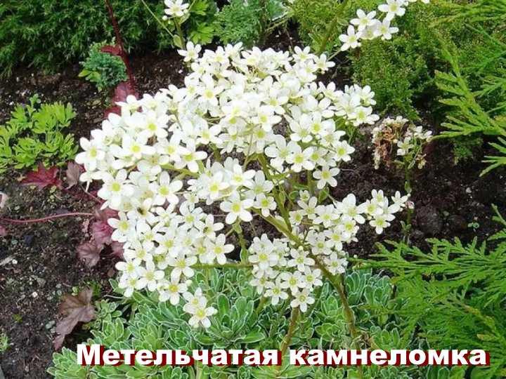 Вид растения - Метельчатая камнеломка
