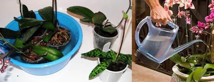 Полив орхидей лейкой и погруженеим в воду