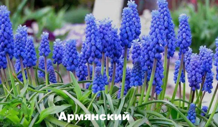 Вид растения - Мускари армянский