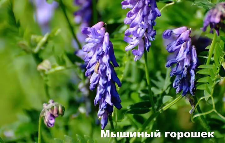 Луговой цветок - Мышиный горошек