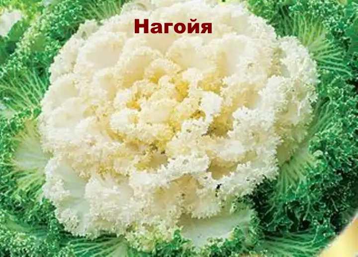 Декоративная капуста сорта Нагойя