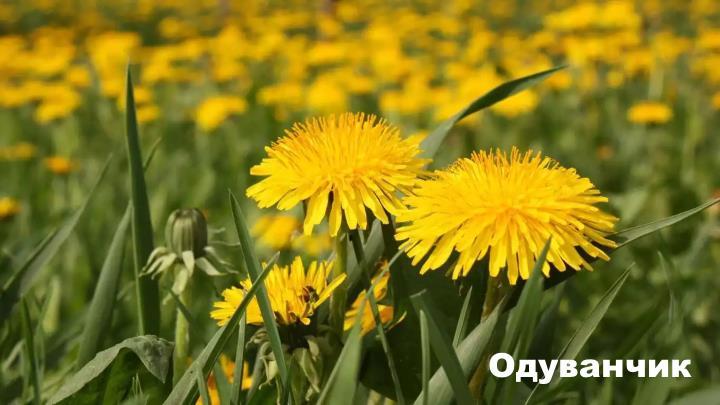 Луговой цветок - Одуванчик