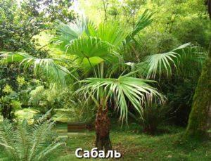 Сабаль пальма