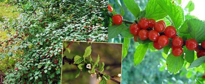 Войлочная вишня цветение и плоды