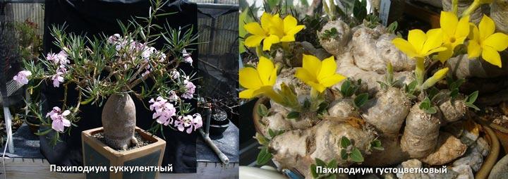 Пахиподиум густоцветковый и сукулентный