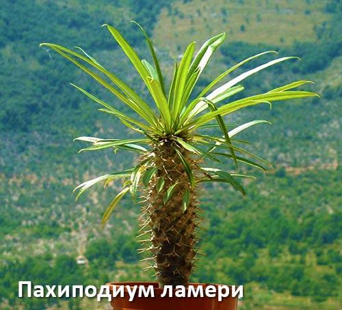 Пахиподиум ламери - мадагаскарская пальма