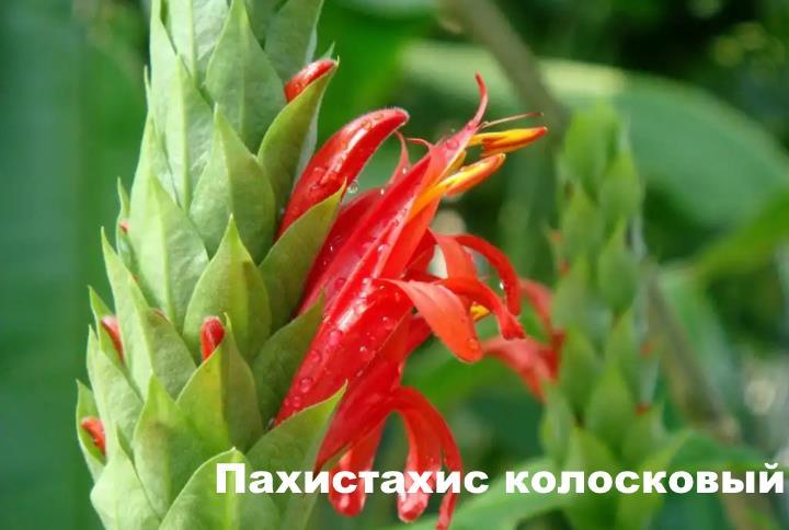 Вид растения - Пахистахис колосковый