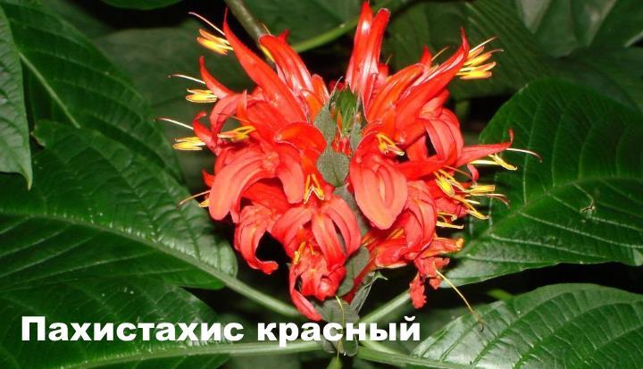 Вид растения - Пахистахис красный