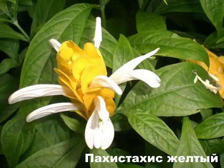 Вид растения - Пахистахис желтый