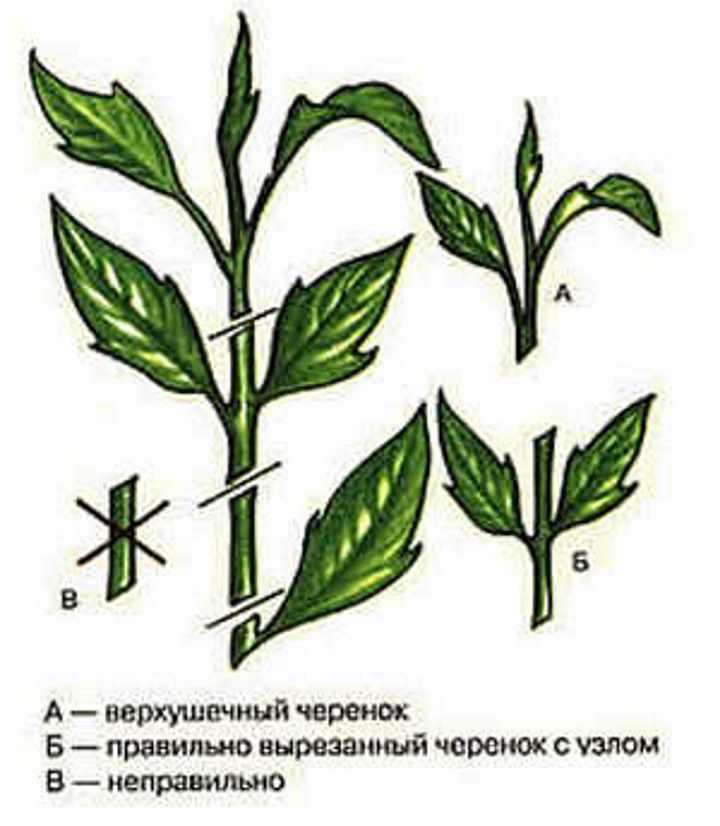 Правильная и неправильная заготовка черенков пахистахиса