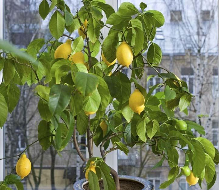 Лимон «Павловский»