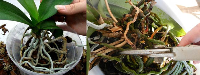 Пересадка и полив орхидей
