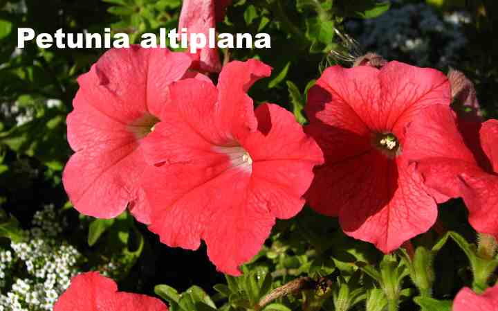 Вид петунии - Petunia altiplana