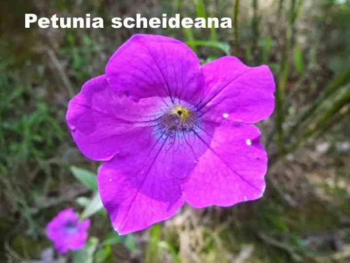 Вид петунии - Petunia scheideana
