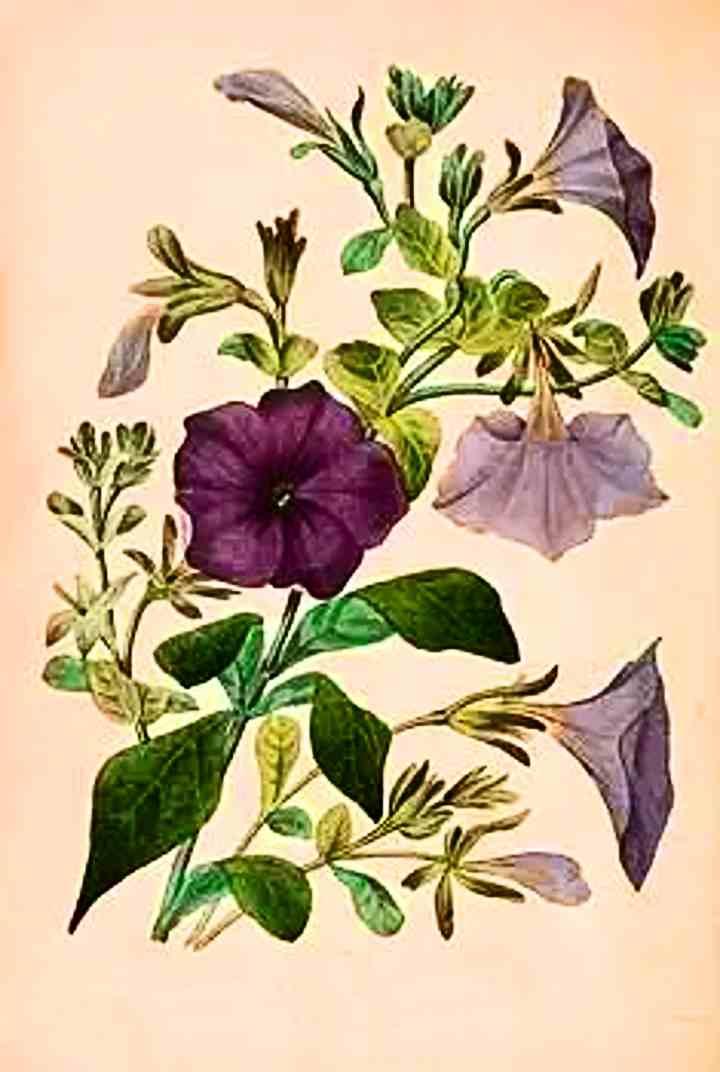 Рисунок строения растения Петуния