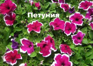Растение Петуния