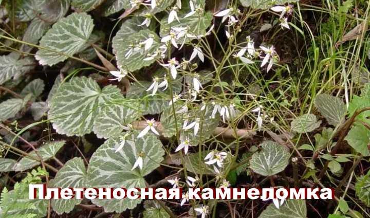 Вид растения - Плетеносная камнеломка