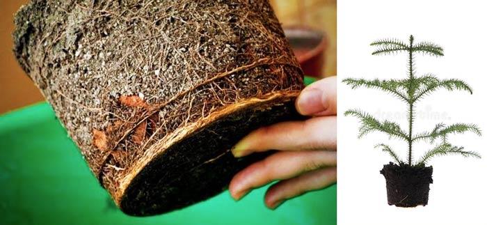 Почва и дренаж для араукарии