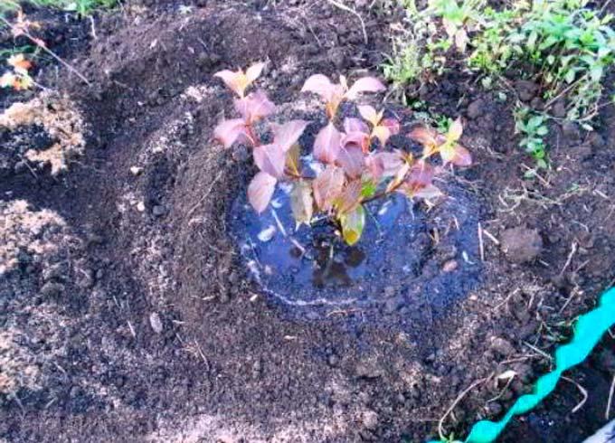 Почва и полив Вейгелы