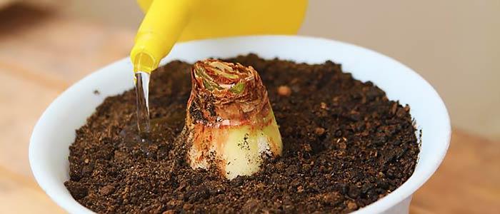 Поливание луковицы гиппеаструма