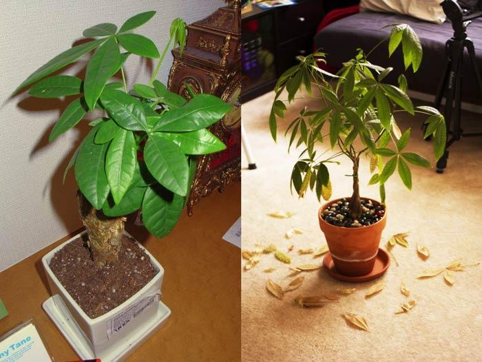 Пахира дома теряет листья