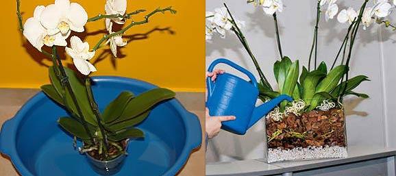Погружение и полив цветущих орхидей