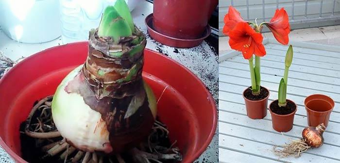 Луковицы гиппеаструма на посадку