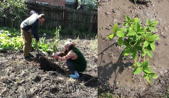 Посадили саженец вишни войлочной