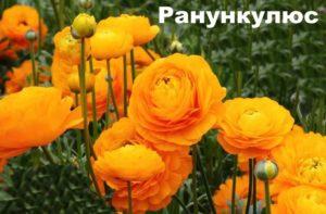 Растение Ранункулюс