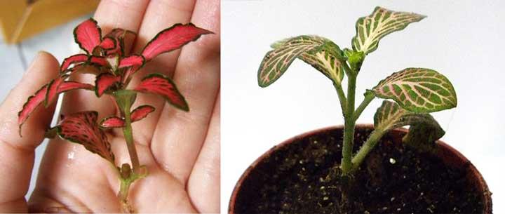 Деление и размножение фиттонии