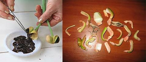 Луковицы Почему не цветет гиппеаструма деление и размножение