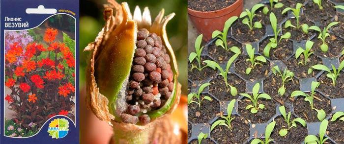 Семена и саженцы лихниса