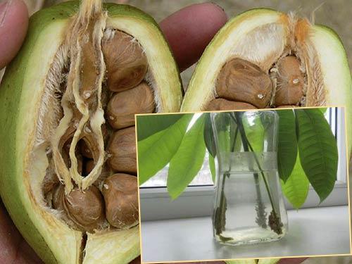 Плоды и черенки пахиры