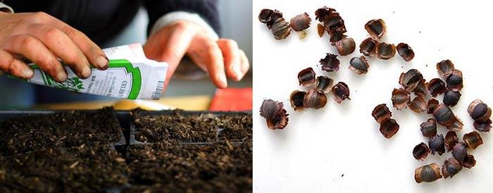 Посев семян кореопсиса