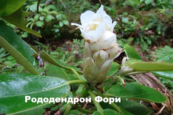 Вид растения - Рододендрон Фори
