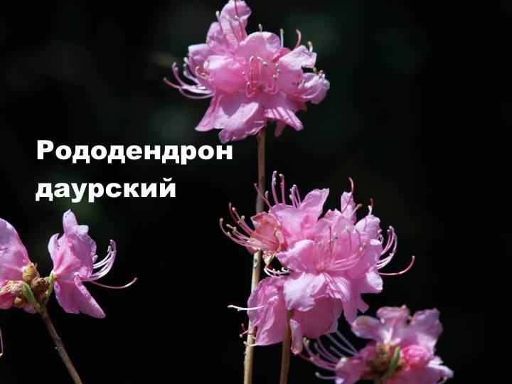 Вид растения - Рододендрон даурский