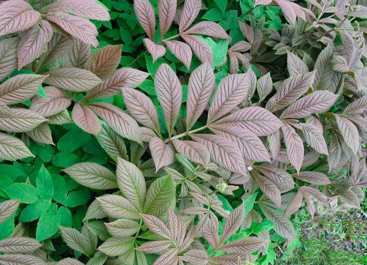 Роджерсия бузинолистная (Rodgersiasambucifolia)