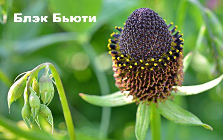 Вид растения - Рудбекия Блэк Бьюти