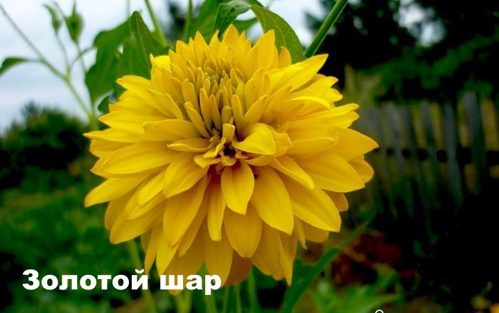 Вид растения - Рудбекия Золотой шар