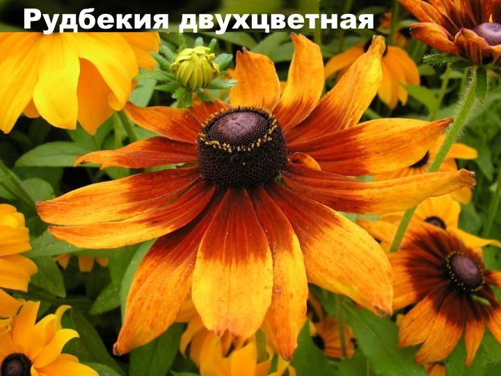 Вид растения - Рудбекия двухцветная