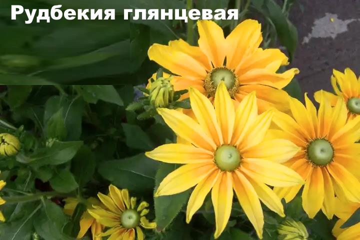 Вид растения - Рудбекия глянцевая