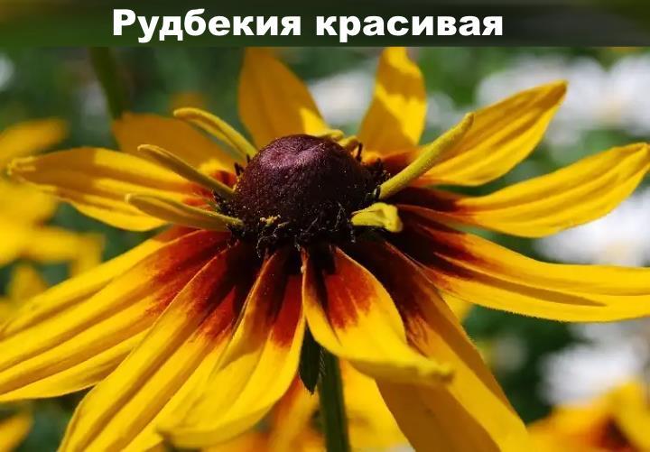 Вид растения - Рудбекия красивая