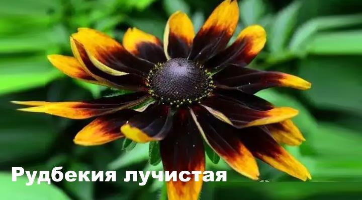Вид растения - Рудбекия лучистая