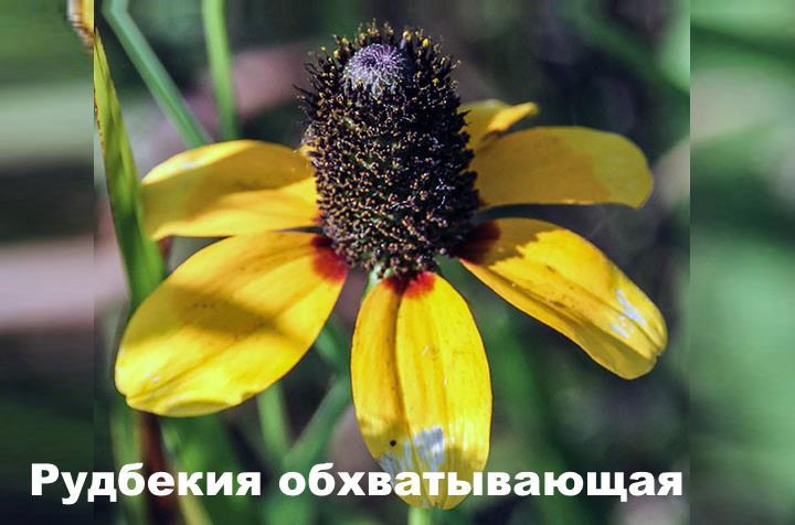 Вид растения - Рудбекия обхватывающая