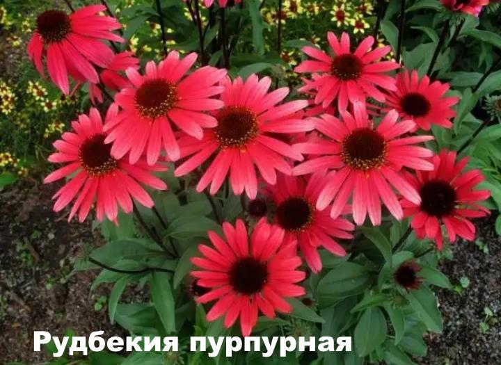 Вид растения - Рудбекия пурпурная