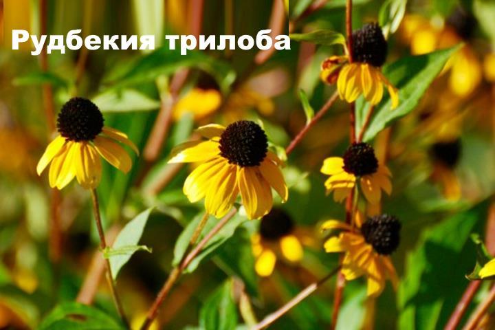 Вид растения - Рудбекия трилоба