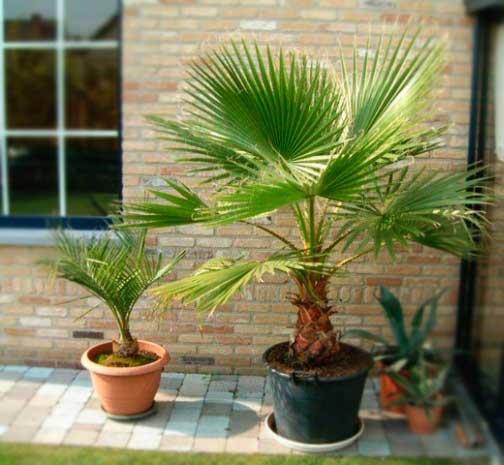Пальмы сабаль в горшках