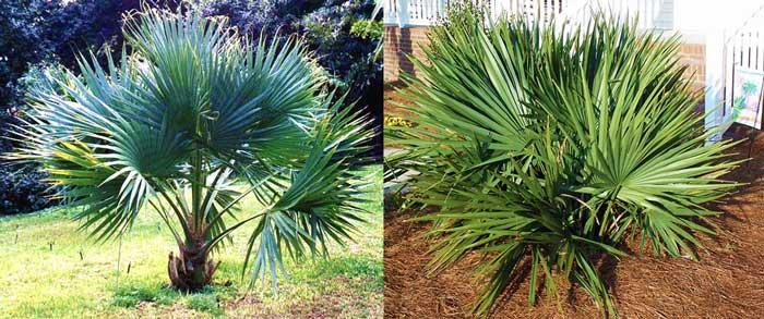 Пальмы сабаль сорта