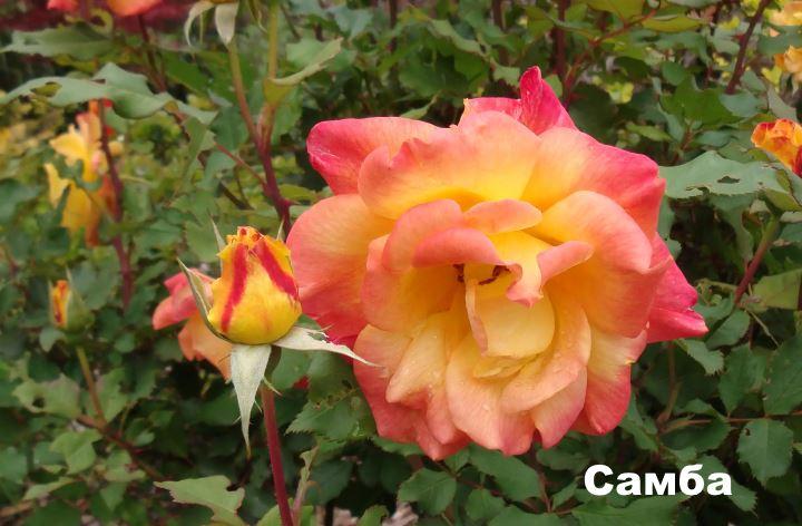 Вид флорибунды - Самба